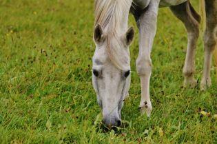 Pferd auf der Wiese vor dem Reitstall Berkenheide in Greven.